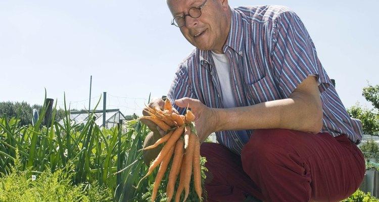 Las zanahorias se cosechan 70 a 80 días después de plantarlas.