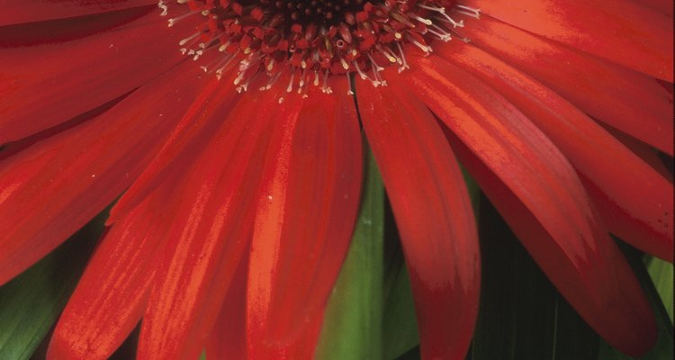 Gerbera daisies are susceptible to powery mildew and a fungus called sclerotinia sclerotiorum.