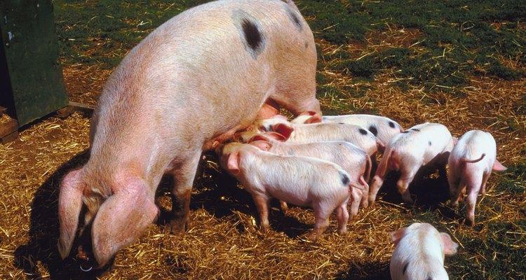 Estimar o peso do suíno ajuda a determinar a quantidade de alimento que eles necessitam