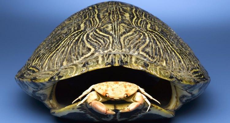 Cómo conservar caparazones de tortuga.