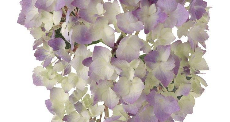 Floraciones de hortensias.