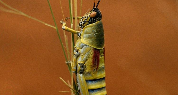 O gafanhoto apresenta várias cores corporais monótonas para se mesclar ao seu ambiente