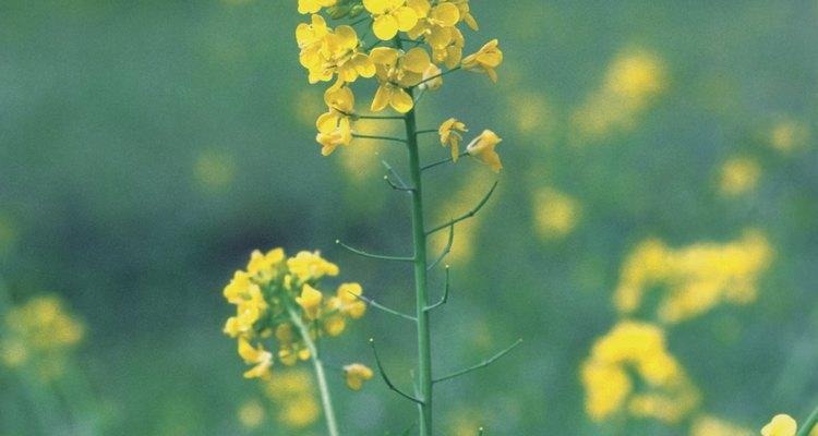Uma planta de mostarda com flores