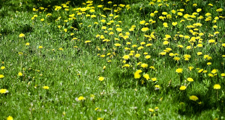 Muchas malezas de hoja ancha producen una flor que es atractiva para algunas personas.