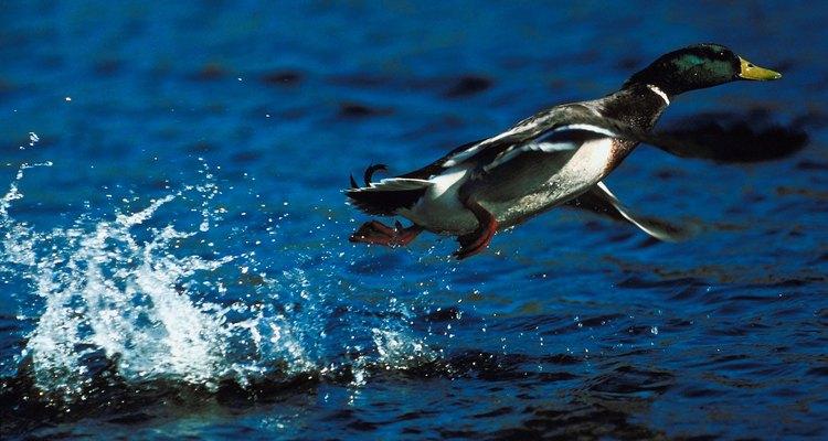 Muchos patos domésticos no pueden volar, pero permite que sus alas estén libres para que puedan extenderlas.