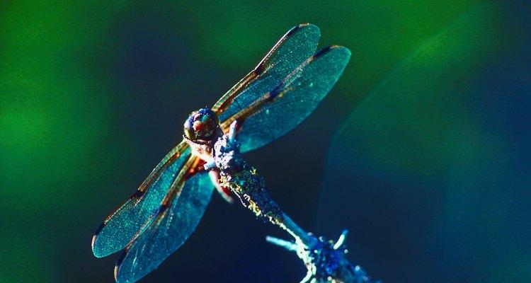 As libélulas refletem a saúde de seu ecossistema