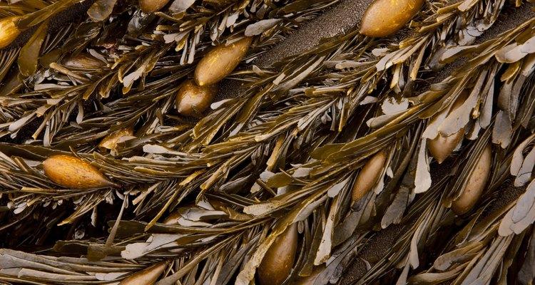 Las algas marinas son un ingrediente muy beneficioso para el abono de la tierra.