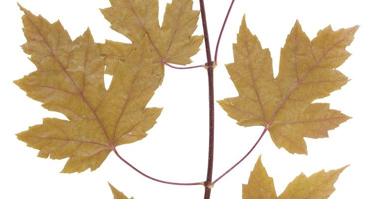 As folhas da jade podem se tornar amareladas devido a algumas causas
