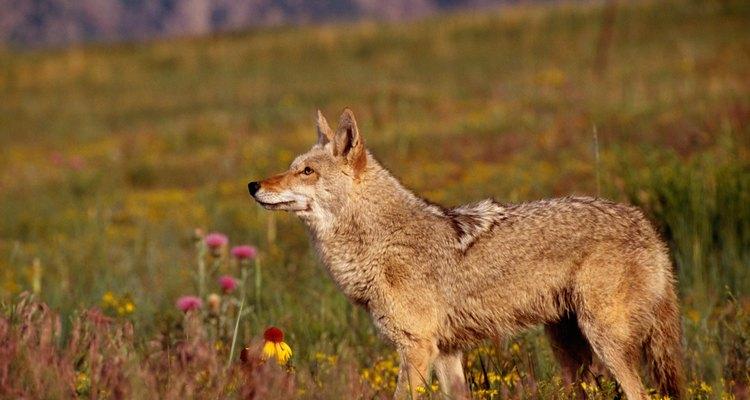 No permitas que los niños pequeños jueguen afuera tarde por la noche, ya que los coyotes cazan a esa hora.