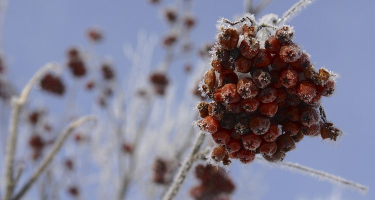 The berries of the rowan tree persist into the winter months.