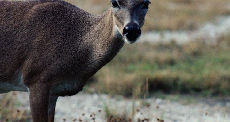Los apache cazaban ciervos por su carne y su piel.