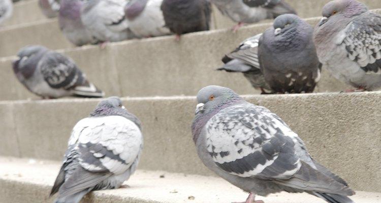 El excremento de las palomas puede desparramar enfermedades.