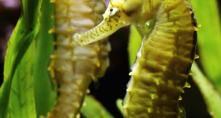 El animal más interesante entre las algas puede ser el dragón de mar de malezas, que es una especie de caballito de mar.