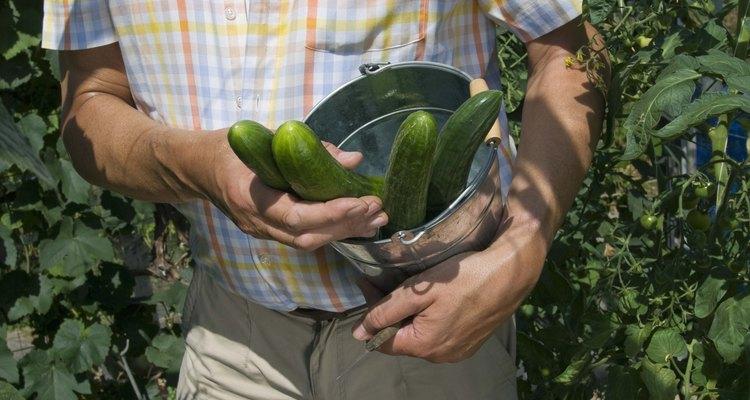Los pepinos son fáciles de cultivar en enrejados en el jardín.