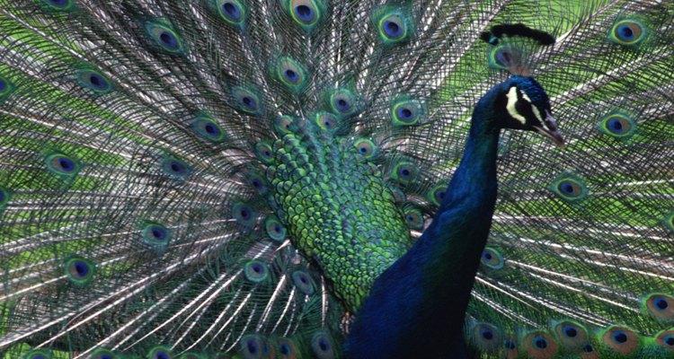 Verifique as penas do pavão