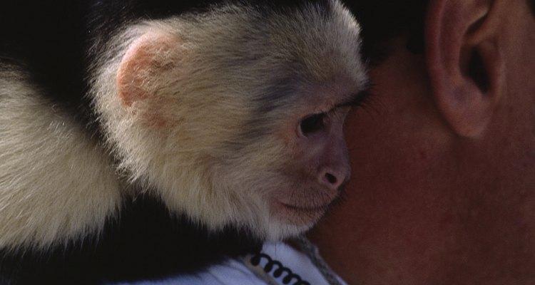 Criar um macaco-prego é um compromisso para a vida toda