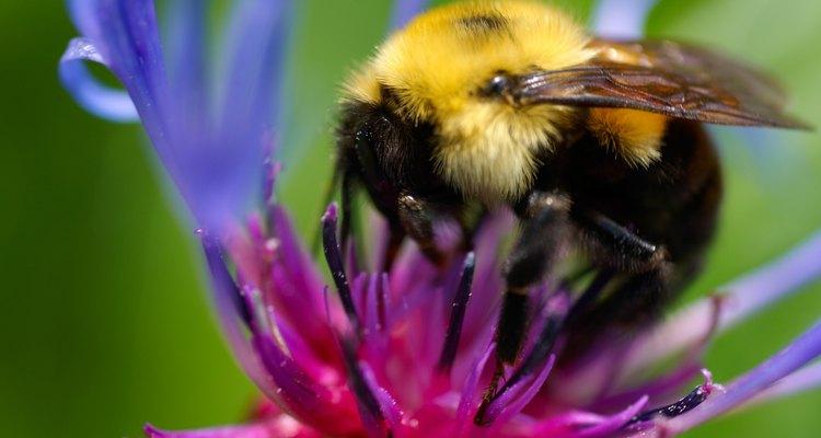 A abelha enquanto busca seu alimento, faz o papel de polinizador das plantas