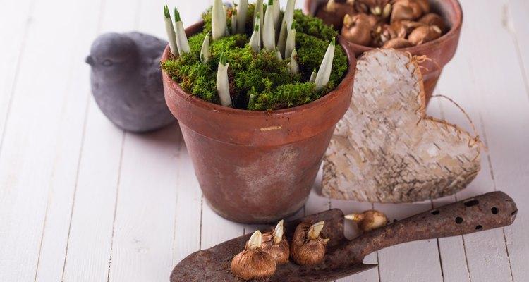 Os musgos servem como cobertura de solo para vasos dentro de casa