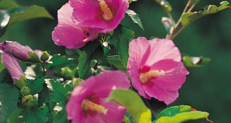 Abelhas buscam flores com uma única pétala