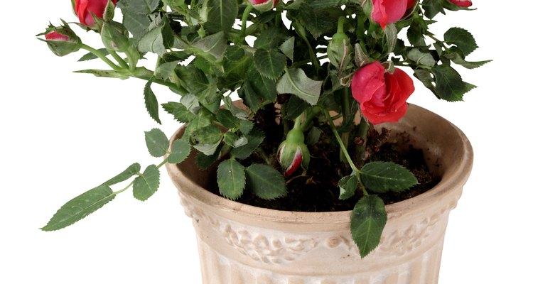 Un rosal en miniatura en su primera maceta.