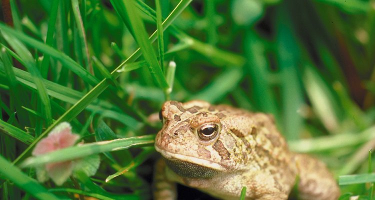 Sapos e cobras são predadores de insetos como o gafanhoto