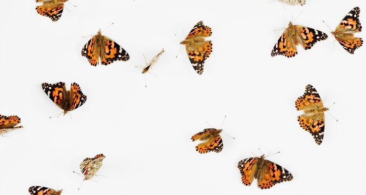 Las mariposas monarcas son venenosas y dañarán de manera severa a cualquier depredador que intente comerlas.