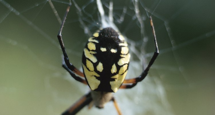 Evite algumas aranhas amarelas, pois elas podem ser venenosas
