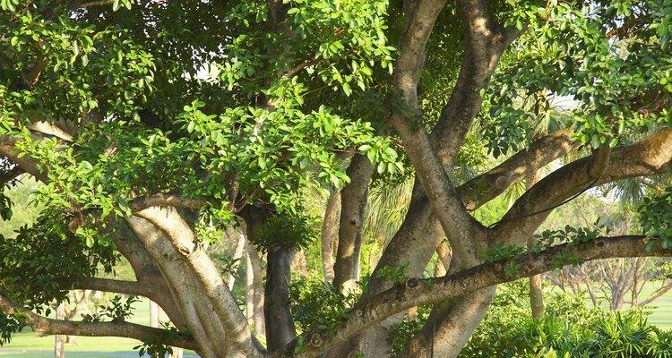 Los árboles de higos forman de pequeños arbustos a árboles.