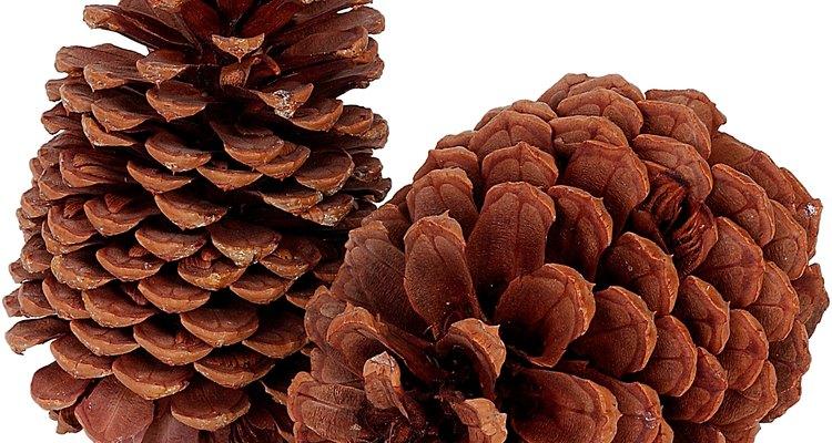 As araucárias, abundantes na região sul do Brasil, são as árvores do pinhão