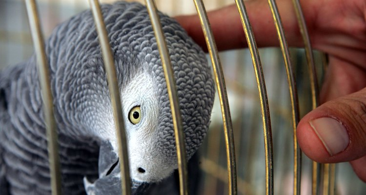 Papagaio cinza africano com o dono