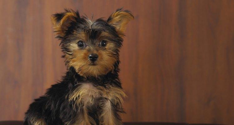 Los cachorros Yorkies siempre nacen con colores negro y tostado.
