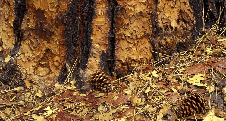 Two pine cones on the ground