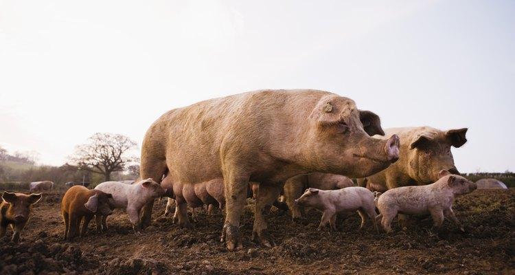 Las hembras de los cerdos de colores claros por lo general son buenas madres.