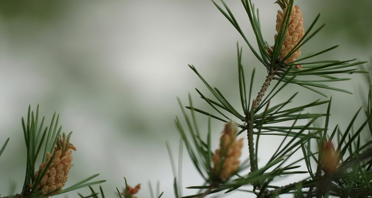 Most coniferous trees are evergreen, but a few are deciduous.