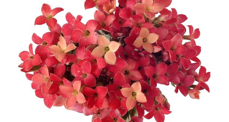 Muitas suculentas, como a flor-da-fortuna, são parentes do cacto