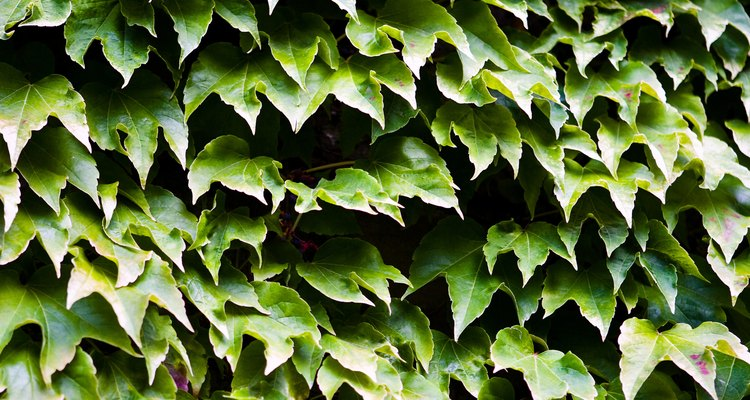 Ivy is often found growing in vines on walls and buildings.