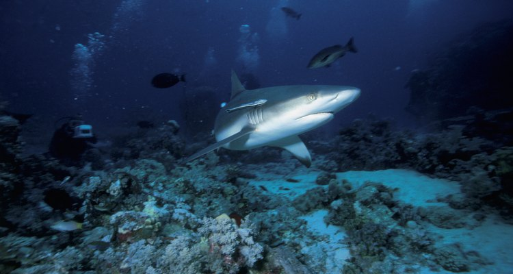 Nada con tiburones en Bora Bora.