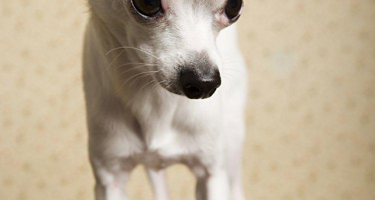 Presiona un moño adhesivo justo encima de cada una de las orejas del Chihuahua.