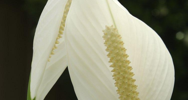 Imagen de las flores que produce el Lirio de la paz