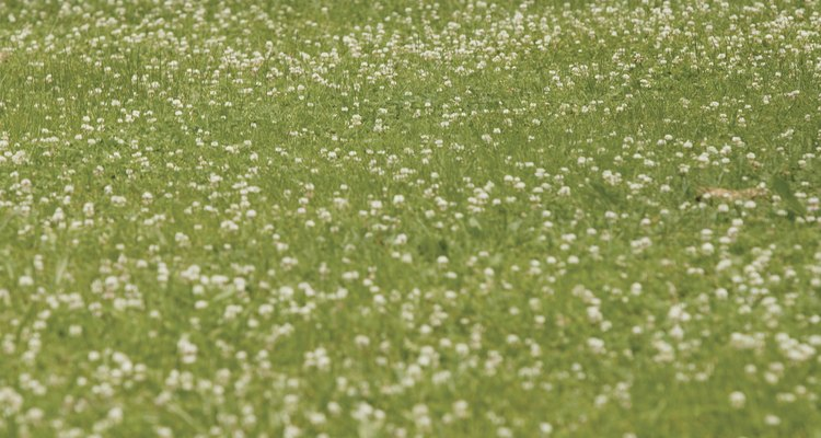 Clover can overrun a horse pasture.