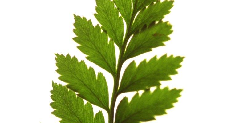 Las esporas se encuentran en el envés de las hojas.