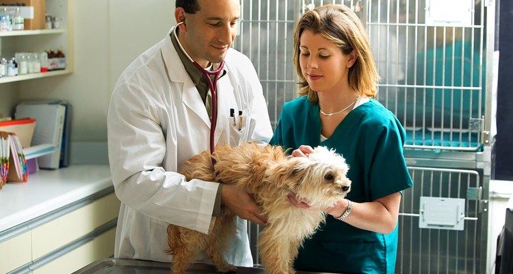 Alguns cães cooperam durante a coleta de sangue