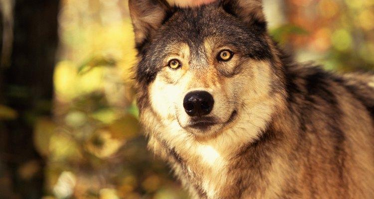 Os lobos pertencem à família canídea