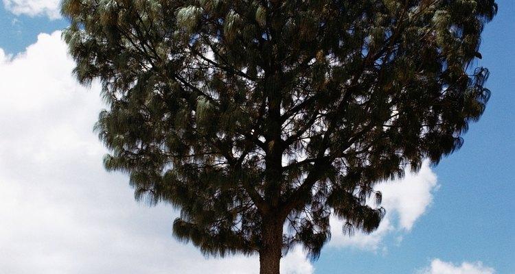 Algumas ferramentas básicas e um pouco de matemática podem ajudá-lo a determinar a altura de uma árvore