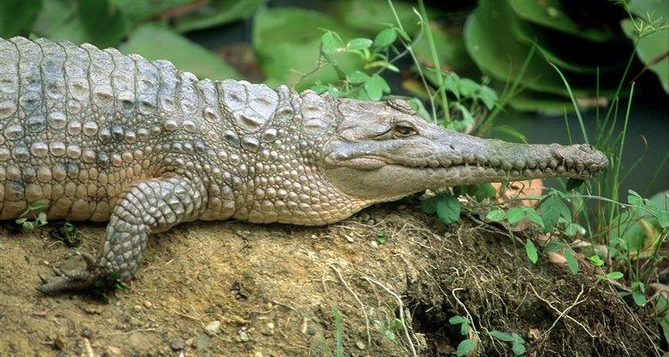 Visita Jungle Island y mira un espectáculo en vivo de cocodrilos.