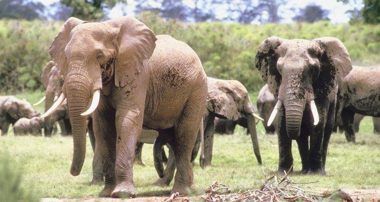 Manadas enteras de elefantes de vez en cuando participan de una migración masiva.