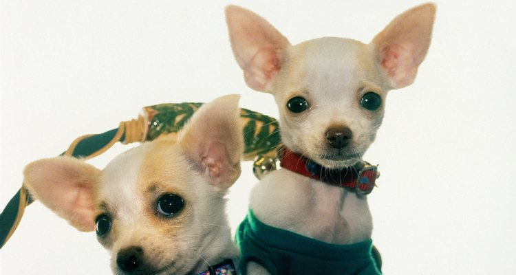 Chihuahuas come in 29 different colour combinations.