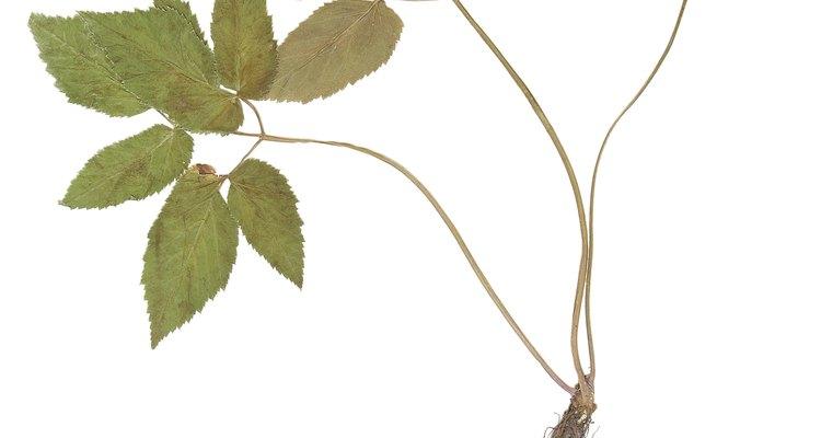 Las hojas simples dentadas adornan muchas clases de árboles.