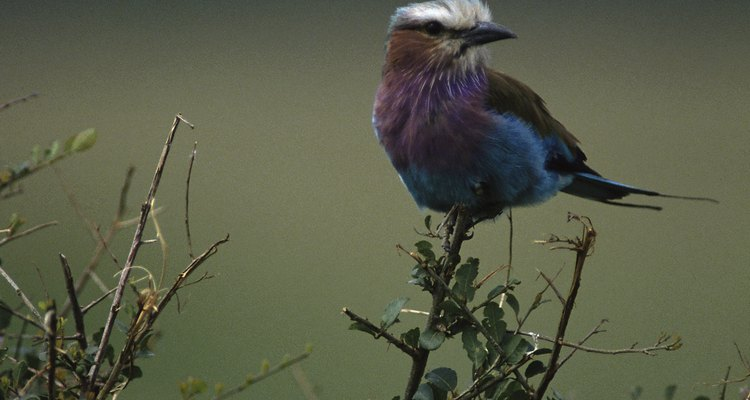 Los pájaros heredan la habilidad de cantar, pero algunas especies aprenden canciones específicas que imitan de sus mayores.