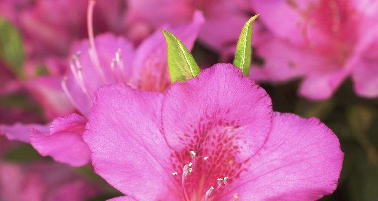 Las azaleas y los rododendros crecen mejor con iluminación solar entre parcial y filtrada.